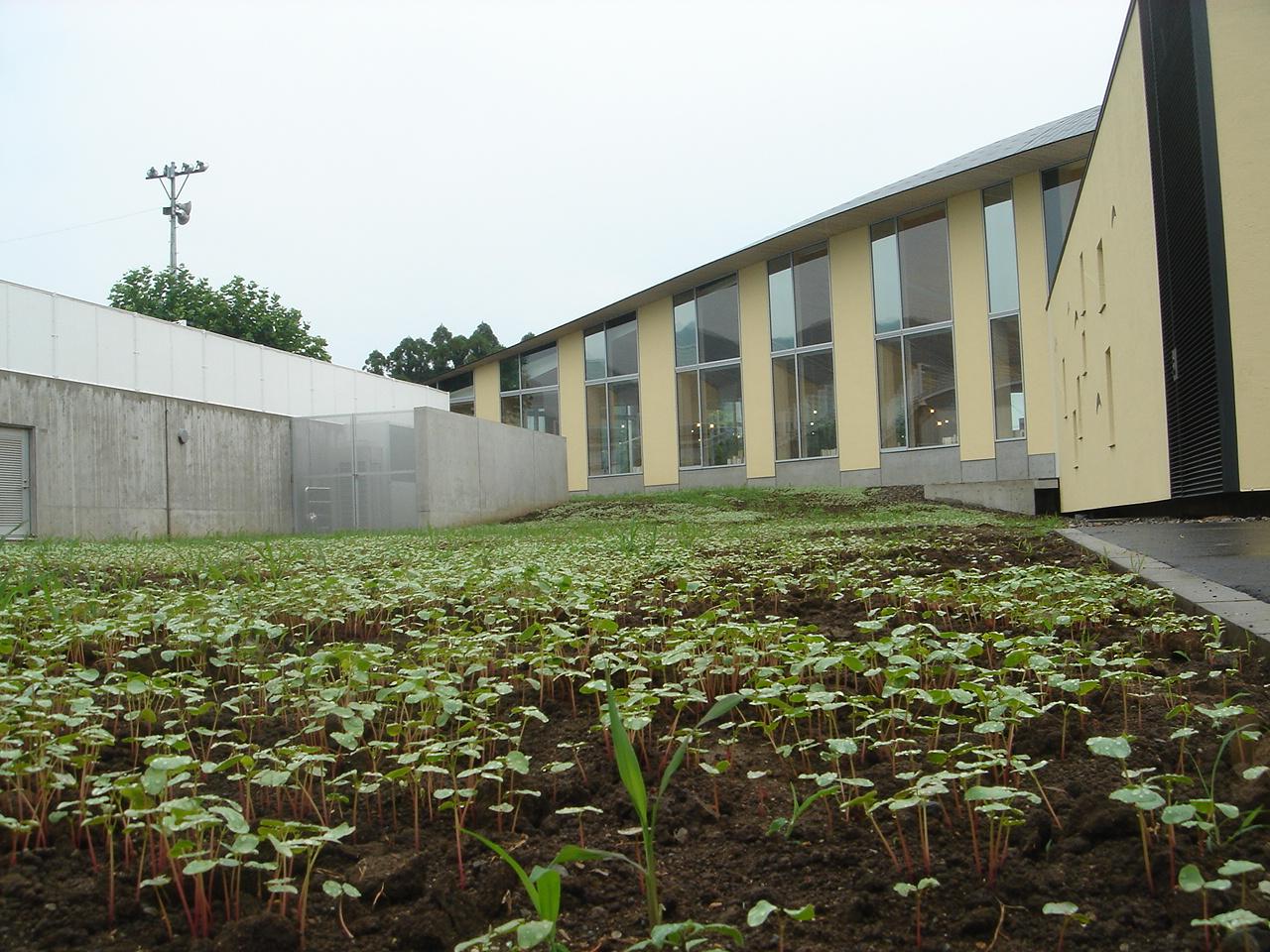 敷地一面に生えてきた蕎麦の芽